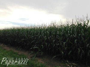 4 Corn Crop 2013 | The Farm Paparazzi