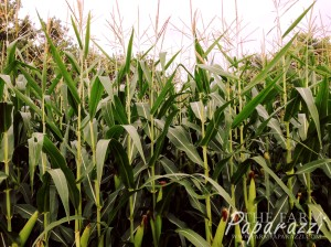 6 Corn Crop 2013 | The Farm Paparazzi