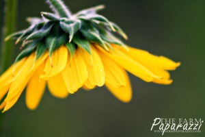 Sunflowers II | The Farm Paparazzi
