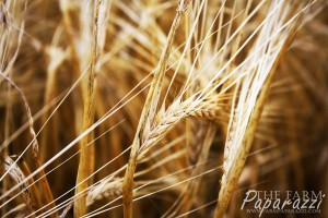 2 Barley Harvest 2013