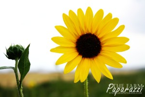 Sunflowers I | The Farm Paparazzi