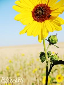 Sunflowers III | The Farm Paparazzi