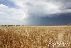 Calm Before the Harvest Storm | The Farm Paparazzi
