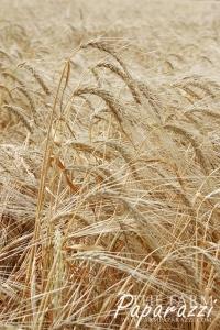 Calm Before the Harvest Storm | The Farm Paparazzi