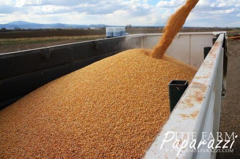 Corn Dog | The Farm Paparazzi