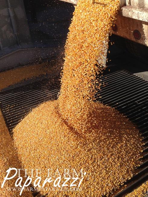 Hauling Corn | The Farm Paparazzi