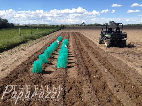 From My Head Tomatoes | The Farm Paparazzi