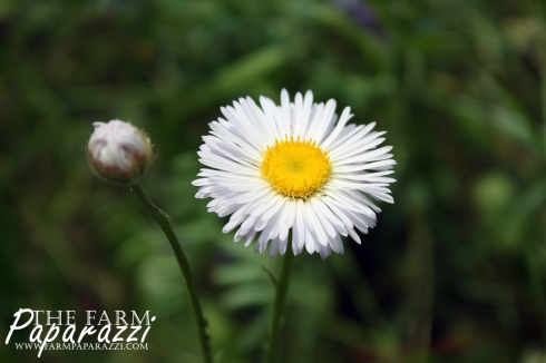 Fleabane Daisy | The Farm Paparazzi