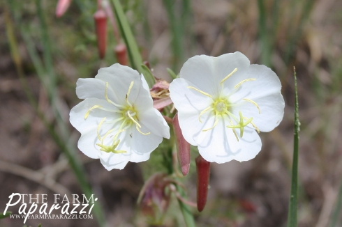 Nuttall's Evening Primrose | The Farm Paparazzi