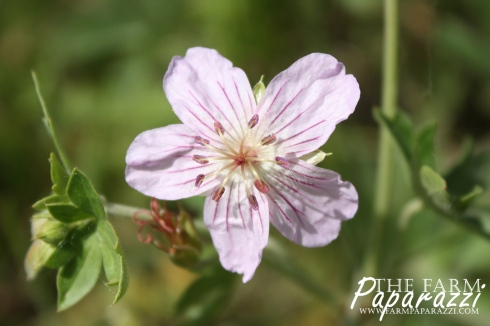 Richardson's Geranium | The Farm Paparazzi
