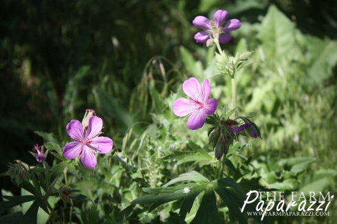 Wild Geranium | The Farm Paparazzi