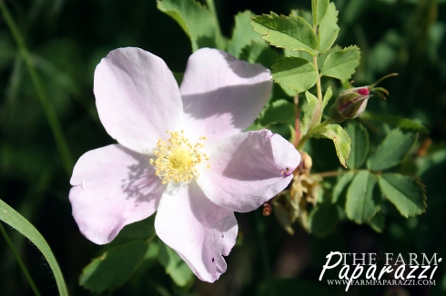 Wild Rose | The Farm Paparazzi
